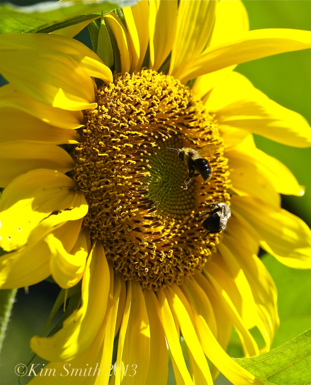Bee and Sunflower ©Kim Smith 2013