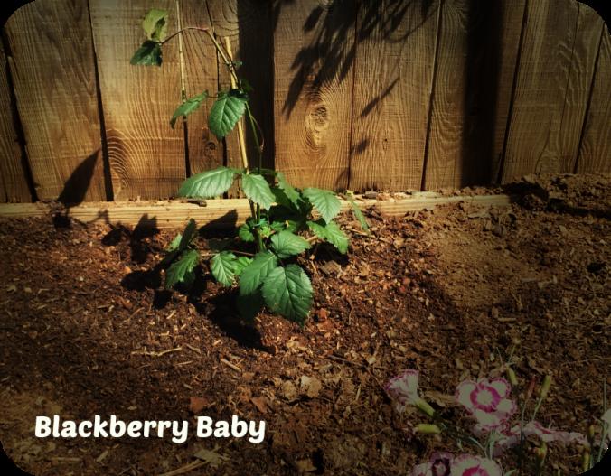 blackberryplant
