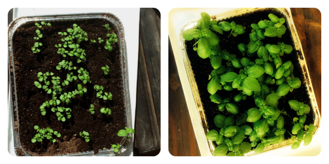 sweet basil seedlings growing